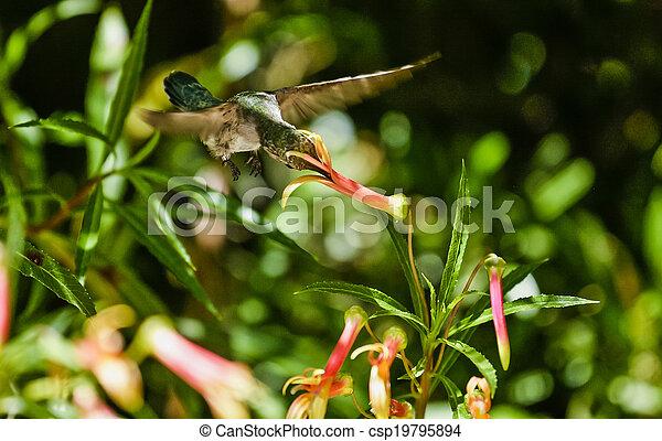 Hummingbird Feeding - csp19795894