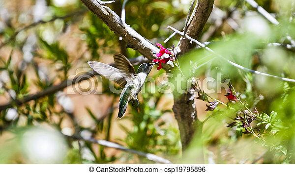 Hummingbird Feeding - csp19795896