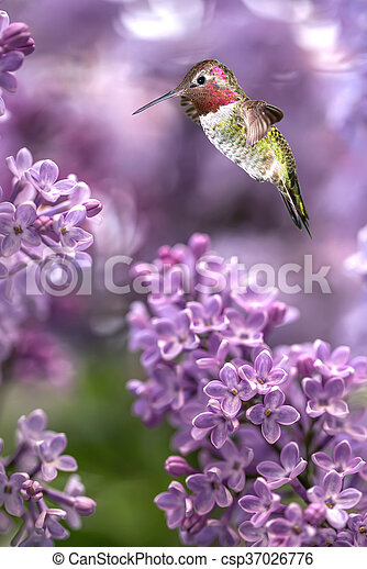 Hummingbird hover in mid-air vertical image - csp37026776