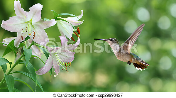 Hummingbird hovering next to a pretty lily flowers panoramic view hummingbird hovering next to a pretty lily flowers panoramic view csp29998427 mightylinksfo
