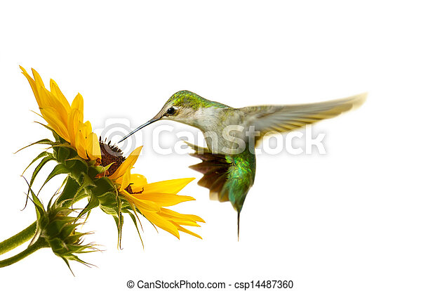 Hummingbird isolated. - csp14487360