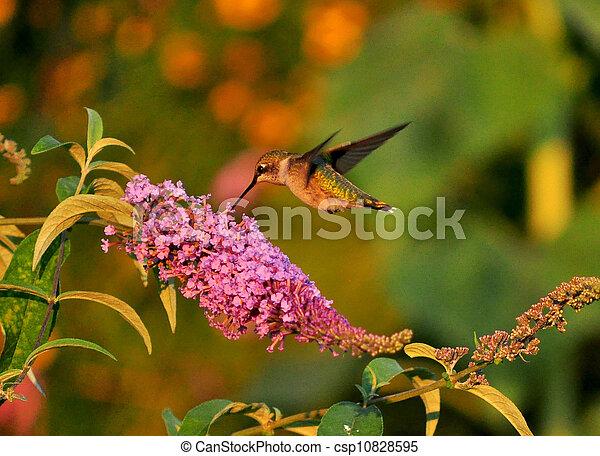 Hummingbird joy - csp10828595