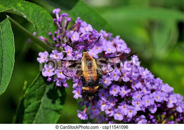 Hummingbird moth - csp11541096