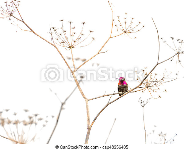 Hummingbird on a Dry Plant - csp48356405
