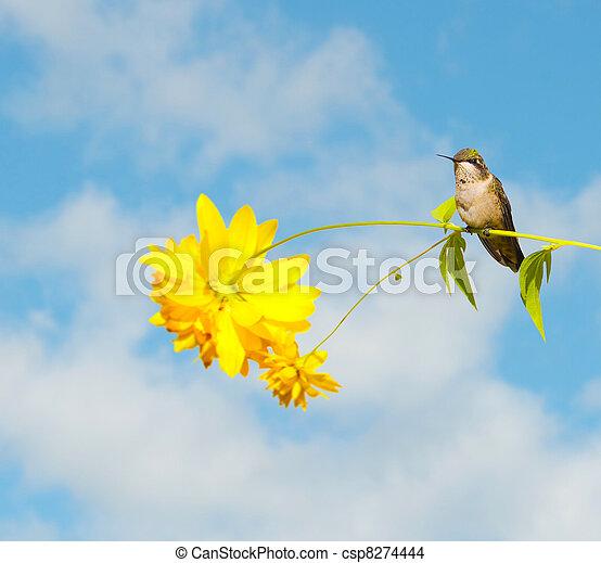 Hummingbird perched on flower. - csp8274444