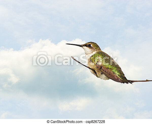 Hummingbird perched. - csp8267228