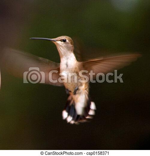 Hummingbird - csp0158371