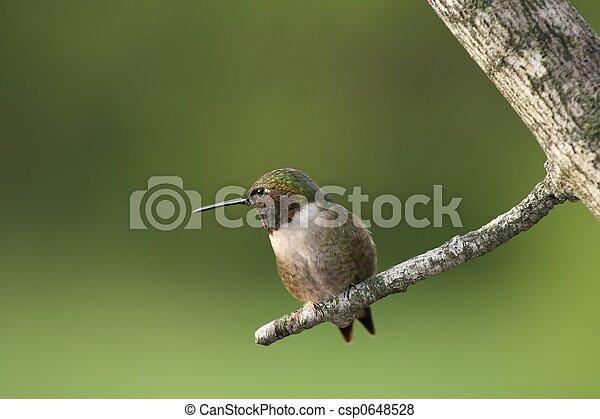 Hummingbird - csp0648528