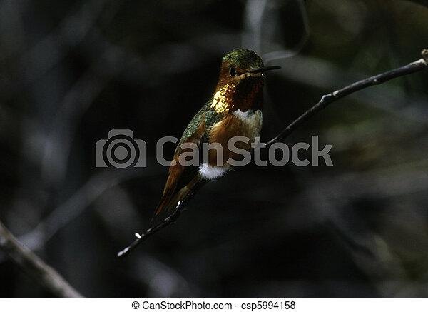 Hummingbird - csp5994158