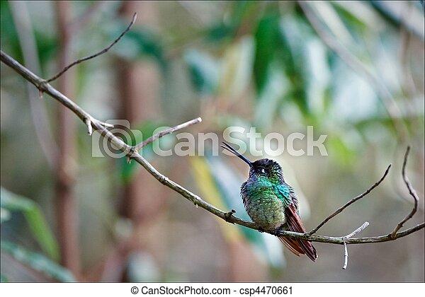 hummingbird. - csp4470661