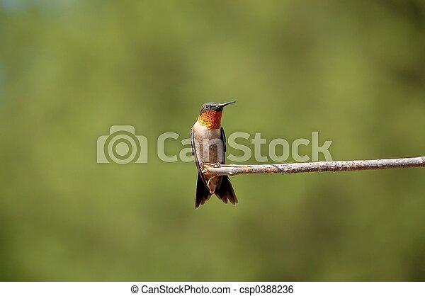 Hummingbird - csp0388236