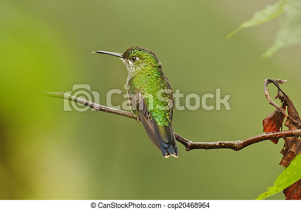 Hummingbird - csp20468964