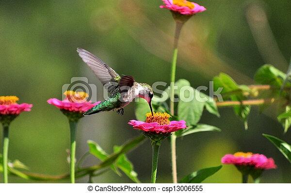 Hummingbird - csp13006555