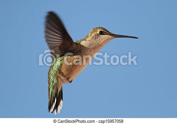 Hummingbird - csp15957058