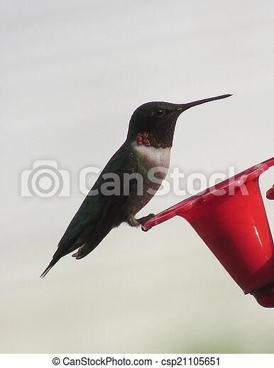 Hummingbird - csp21105651