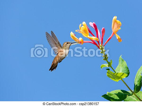 Hummingbird - csp21380157