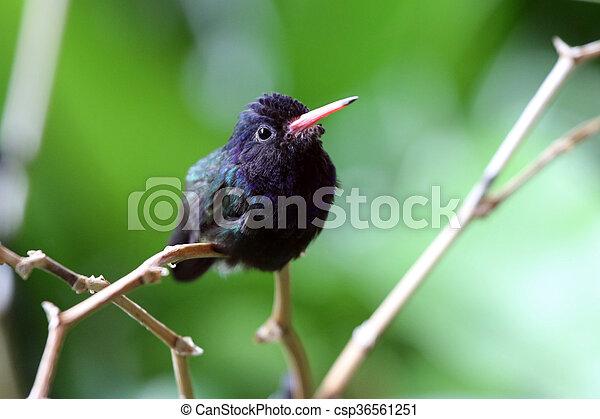 hummingbird - csp36561251