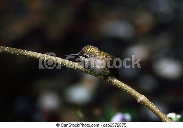 Hummingbird - csp6572075