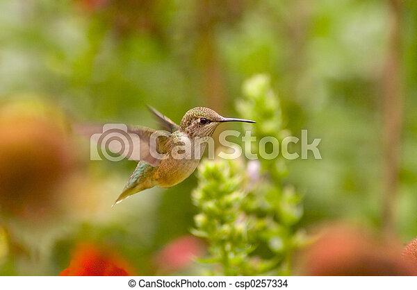 Hummingbird - csp0257334
