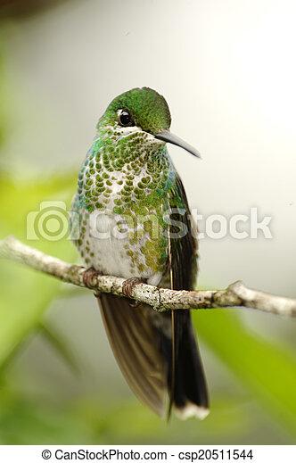 Hummingbird - csp20511544