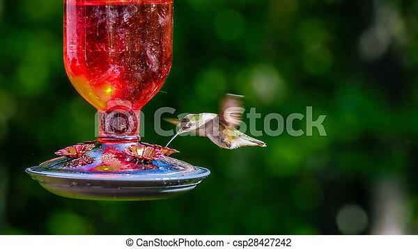 hummingbird - csp28427242