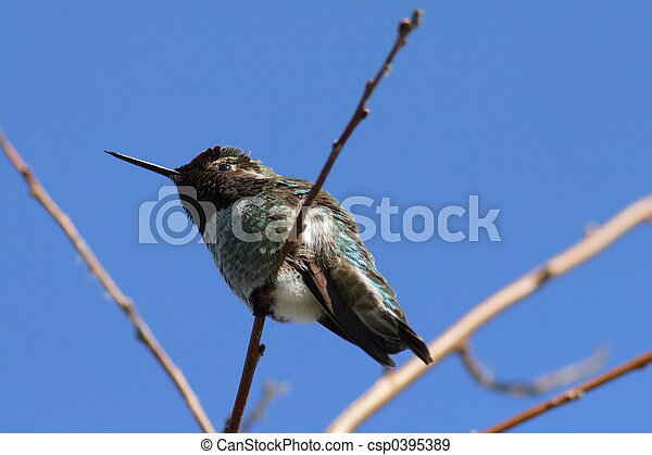 Hummingbird - csp0395389