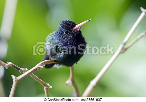 hummingbird - csp36561937