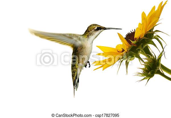 hummingbird., throated, rubis - csp17827095