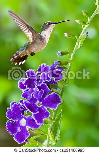 Hummingbird with purple flower over green background hummingbird hummingbird with purple flower over green background csp31400995 mightylinksfo
