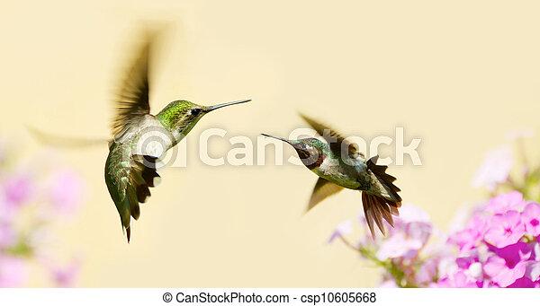 Hummingbirds fighting. - csp10605668