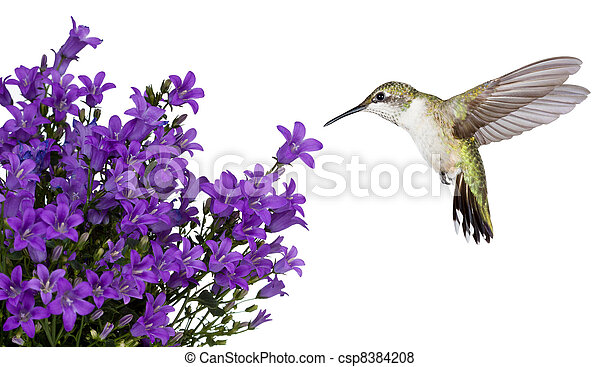 hummingbirds positioned over a purple bellfower - csp8384208