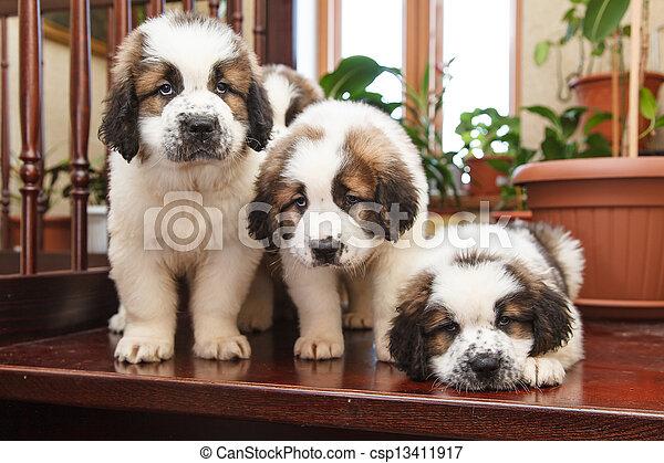 hundebabys, 2, altes , drei, monate - csp13411917