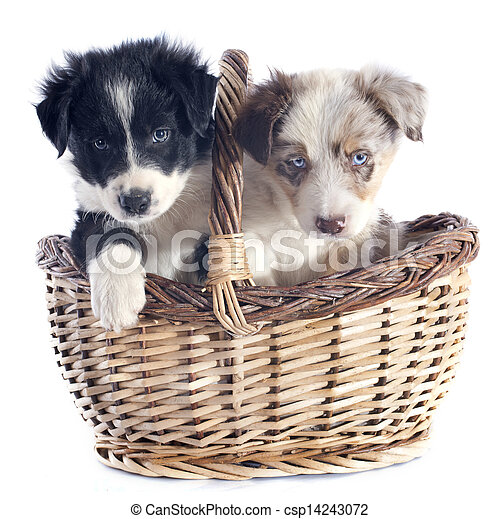 hundebabys, collie, umrandungen - csp14243072