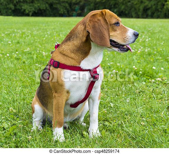 Hunden Grün Beagle Hund Beagle Grass Closeup Porträt