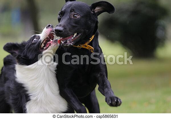 Zwei Hunde spielen - csp5865631