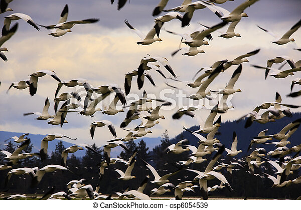 Hundreds of Snow Geese Flying Off - csp6054539