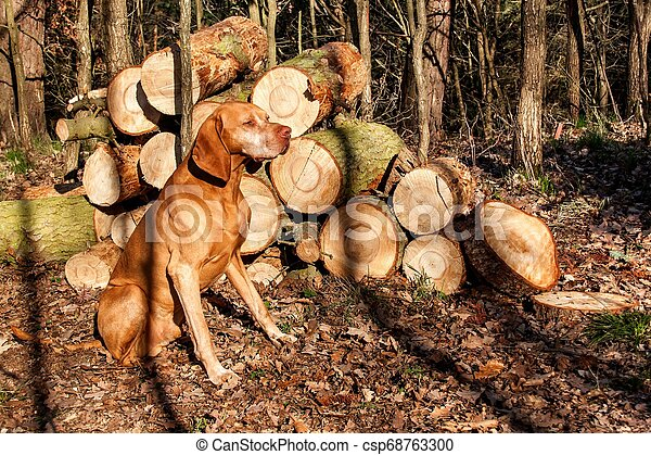 Hungarian hound in the forest. Hound. Spring evening with dog. Loyal friend. - csp68763300