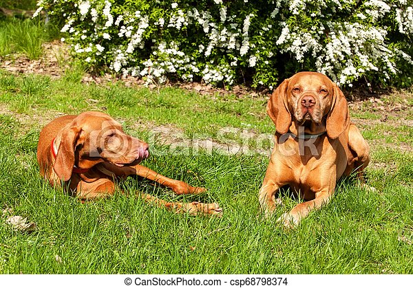 Hungarian hound lies in the grass. Rest for hunting. Hunting dog on a meadow. - csp68798374