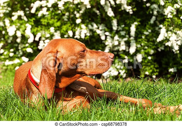 Hungarian hound lies in the grass. Rest for hunting. Hunting dog on a meadow. - csp68798378
