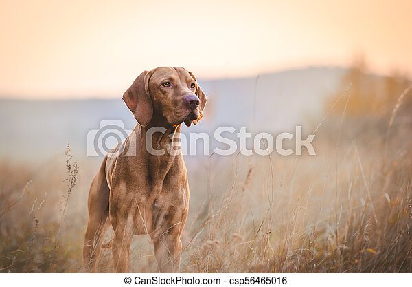 Hungarian hound pointer vizsla dog in autumn time in the field - csp56465016