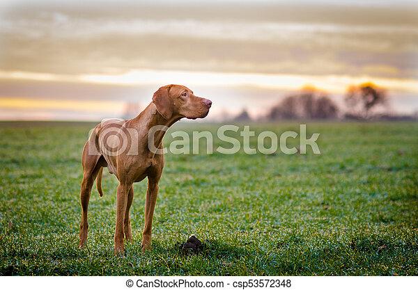 Hungarian hound pointer vizsla dog in autumn time in the field - csp53572348