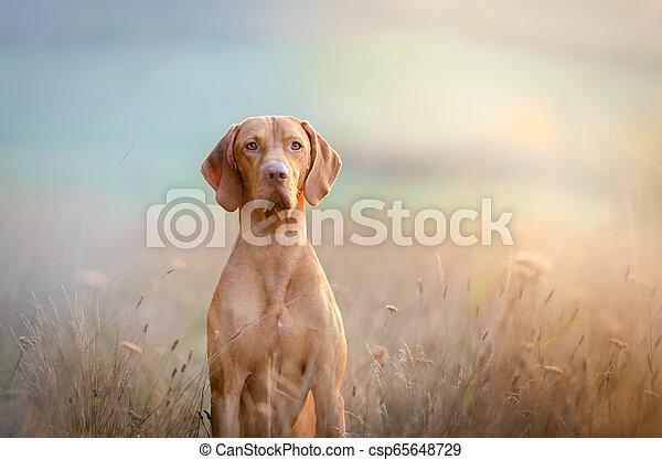 Hungarian hound pointer vizsla dog in autumn time in the field - csp65648729