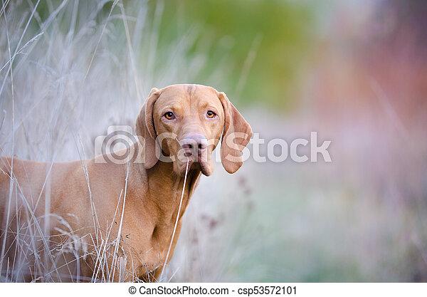 Hungarian hound pointer vizsla dog in autumn time in the field - csp53572101