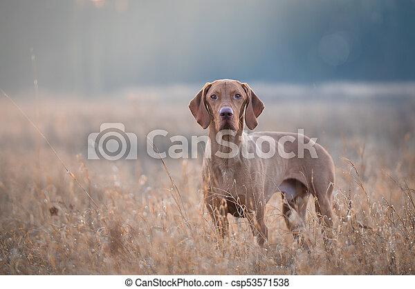 Hungarian hound vizsla dog in field - csp53571538