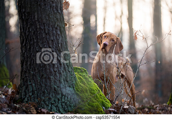 Hungarian hound vizsla dog in forrest - csp53571554