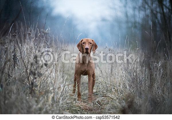 Hungarian hound vizsla dog - csp53571542