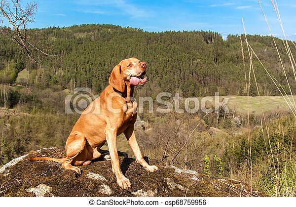 Hungarian hound Vizsla on a rock in the forest. Hunting dog in the forest. Hound on the hunt. - csp68759956