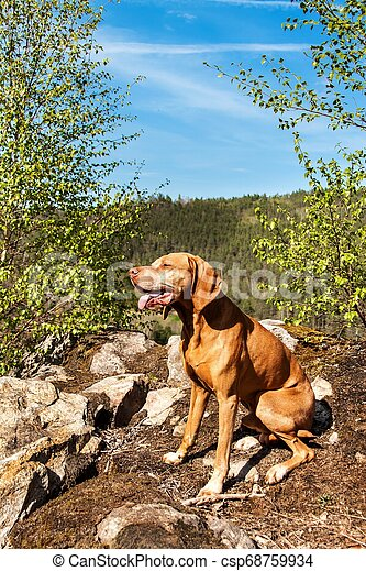 Hungarian hound Vizsla on a rock in the forest. Hunting dog in the forest. Hound on the hunt. - csp68759934