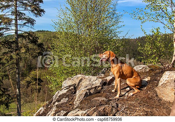Hungarian hound Vizsla on a rock in the forest. Hunting dog in the forest. Hound on the hunt. - csp68759936