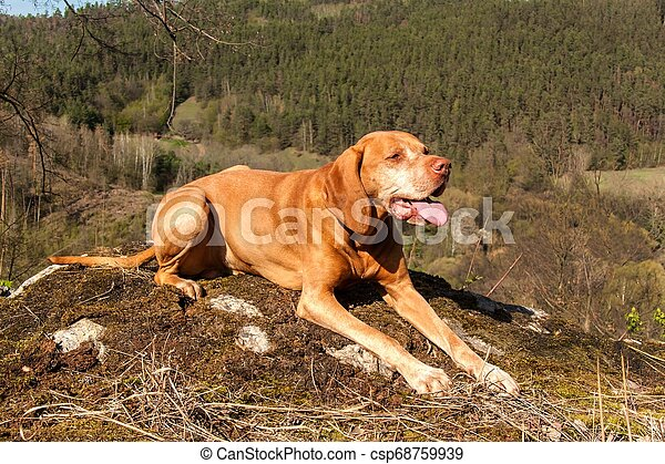 Hungarian hound Vizsla on a rock in the forest. Hunting dog in the forest. Hound on the hunt. - csp68759939